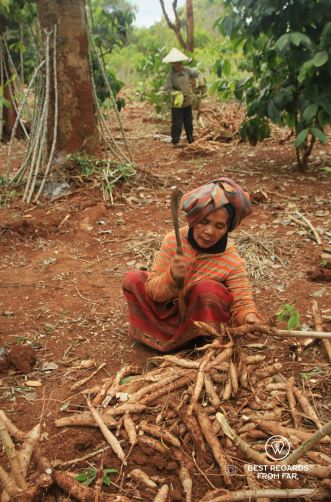 Harvesting Manioc, the Swing, Laos