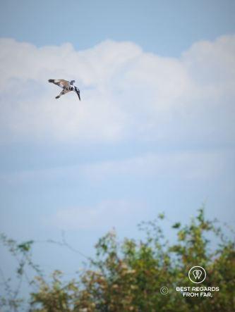 Kingfisher ready to strike, Kampong Phluk floating village, Tonlé Sap, Cambodia
