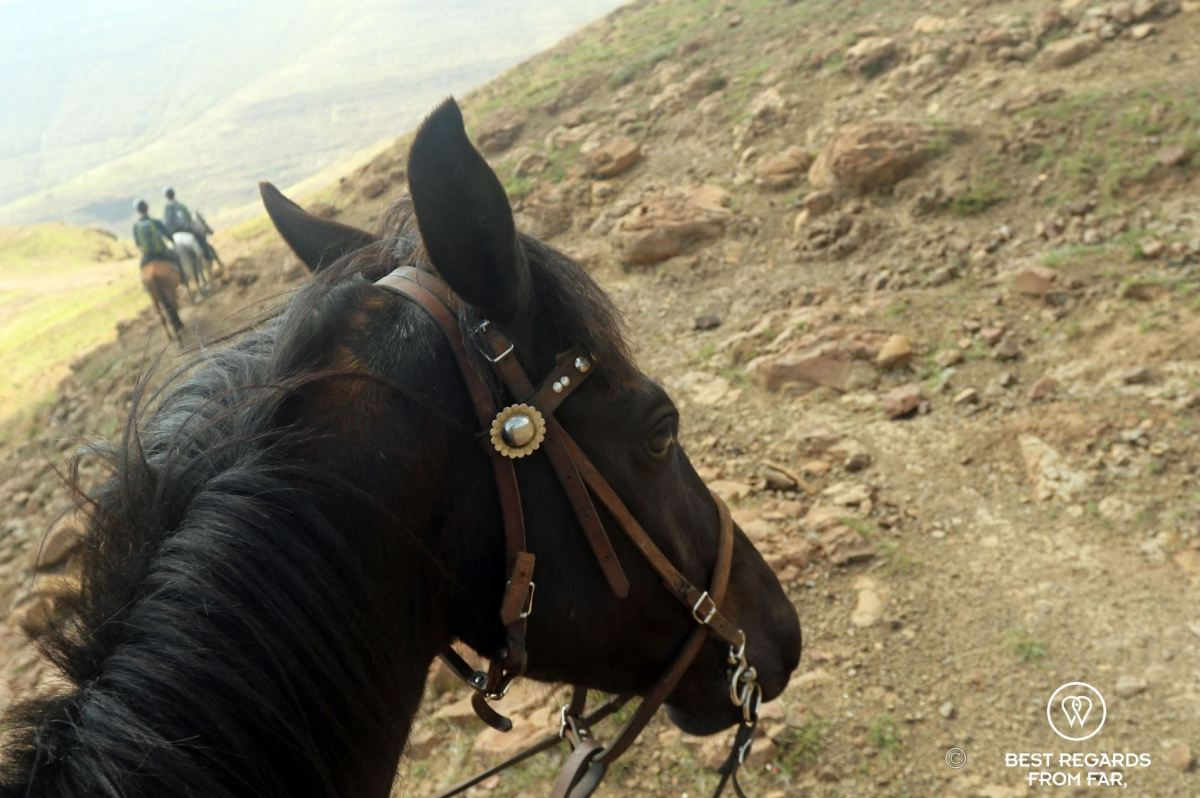 Head of a robust and all-terrain Basotho pony on a trail following horseback riders in the mountains of Lesotho.