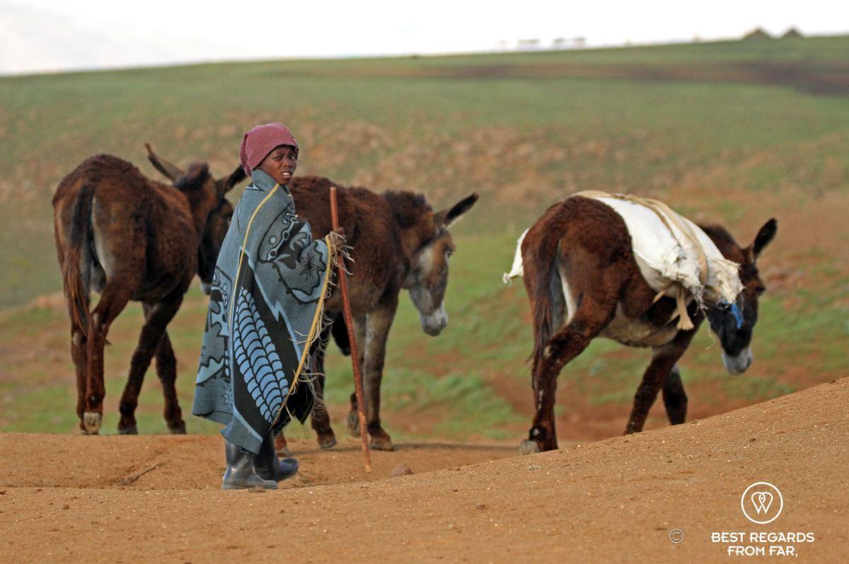 Young Basotho shepherd wearing the traditional wool blanket, and walking with donkeys in Lesotho.