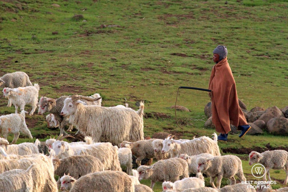 Young shepherd in traditional clothes herding angora goats in the mountains of Lesotho