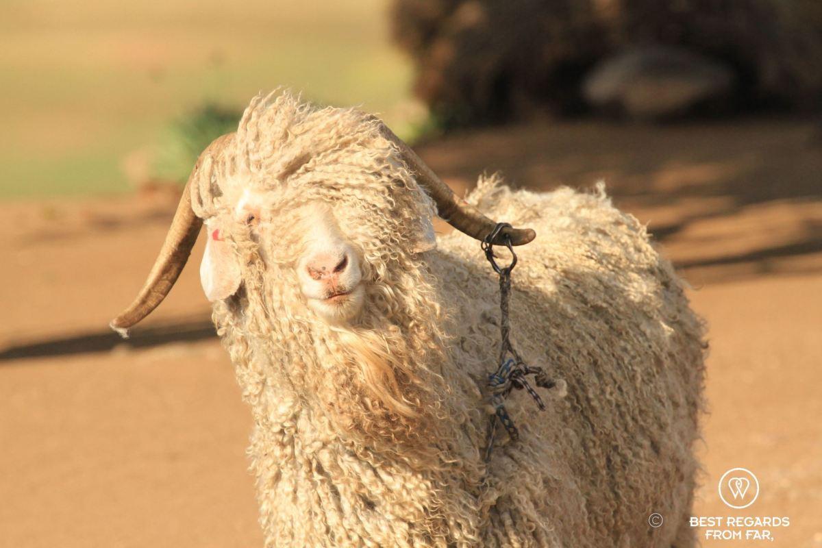 Angora goat in Lesotho