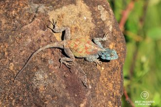 A lizard on the Sani Pass, South Africa