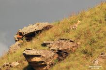 Mountain reedbuck, Sani Pass, South Africa
