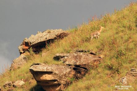 Mountain reedbuck, Sani Pass, South Africa