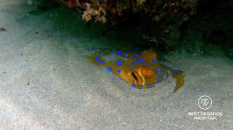 Blue spotted stingray, SCUBA diving Sodwana Bay, Souh Africa