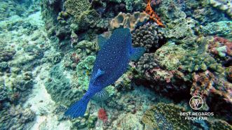 Boxfish, SCUBA diving Sodwana Bay, Souh Africa