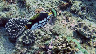 Clown triggerfish, SCUBA diving Sodwana Bay, Souh Africa