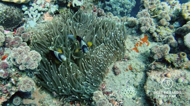 Twobar anemonfish, SCUBA diving Sodwana Bay, Souh Africa