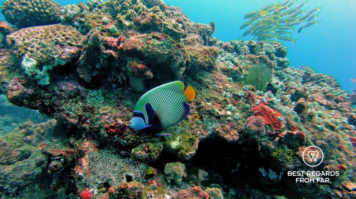 Emperor angelfish, SCUBA diving Sodwana Bay, Souh Africa.