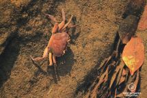 Fresh water crab in the Mac Mac Pools, Sabie, Blyde River Canyon, South Africa