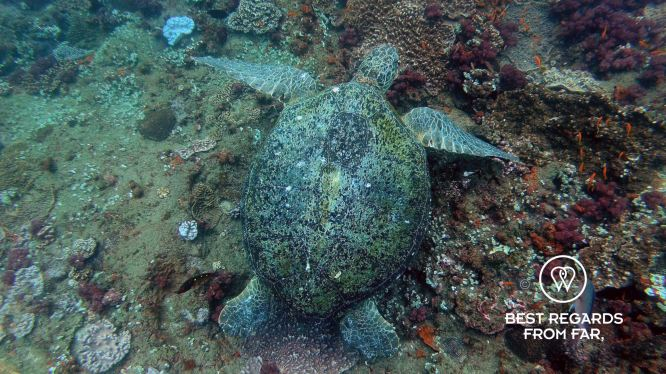 Green turtle while SCUBA diving Sodwana Bay, Souh Africa