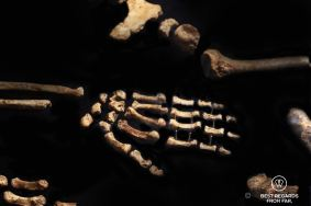 Detail of the hand of the Homo Naledi, Cradle of humankind, South Africa