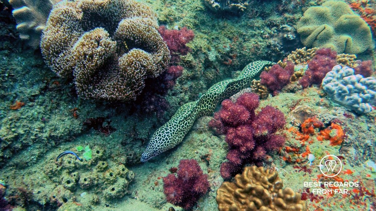 Honeycomb moray eel swimming amongst the coral while SCUBA diving Sodwana Bay, Souh Africa.