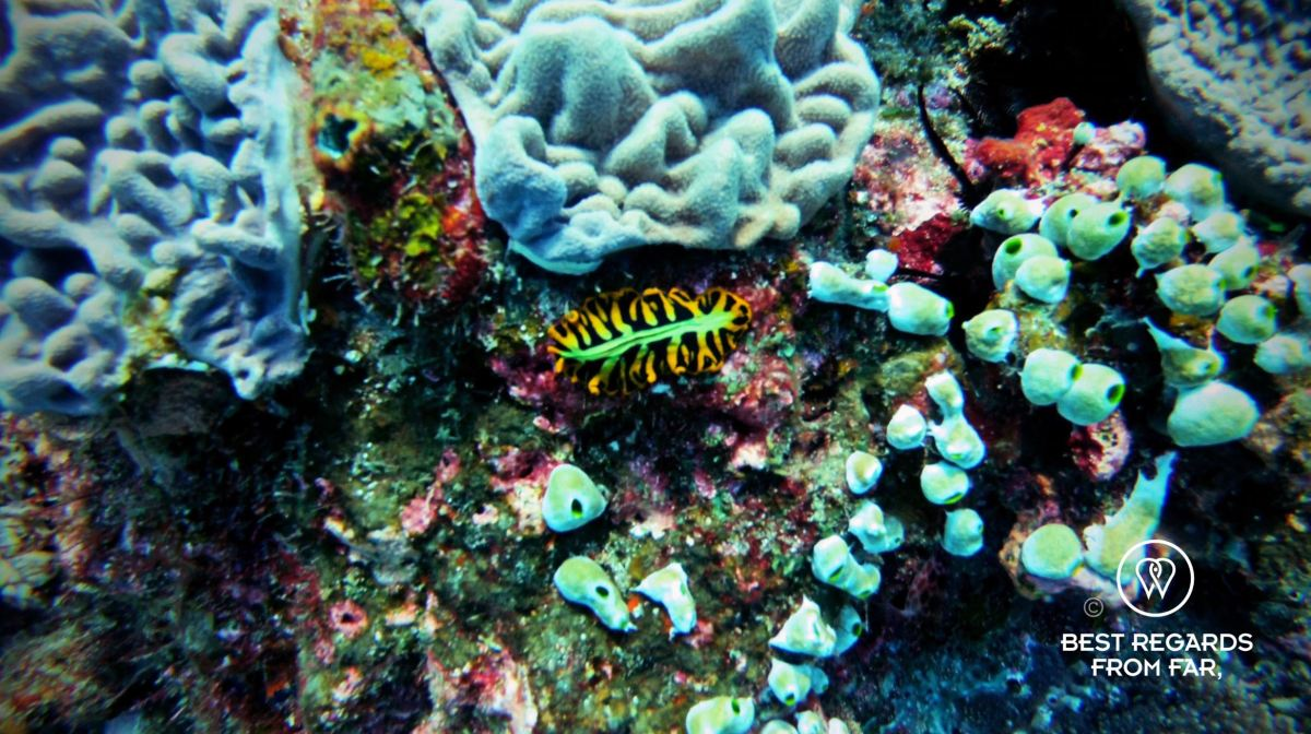 Colourful nudibranch amongst the coral, SCUBA diving Sodwana Bay, Souh Africa.