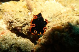 Nudibranch, by Coral Divers, Sodwana Bay, South Africa