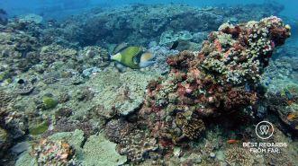 Titan triggerfish, SCUBA diving Sodwana Bay, Souh Africa.