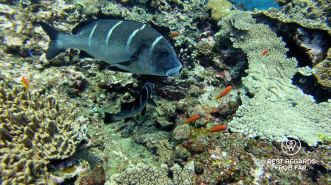 Whitebarred rubberlip, SCUBA diving Sodwana Bay, Souh Africa