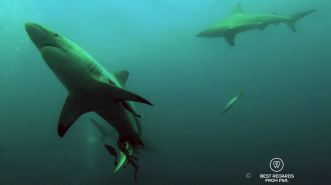 Diving with Oceanic Blacktip sharks at Aliwal Shoal, South Africa