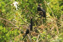 Cormorants in a tree, Kosi Bay, South Africa