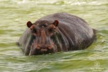 Hippo, the local inhabitant of the Kosi Bay lakes, South Africa