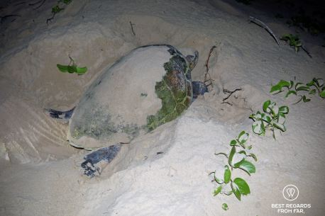 Turtle covering her nest, Kosi Bay, turtle tour, South Africa