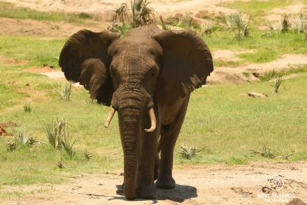 Elephant near waterhole, Tembe Elephant Park, South Africa