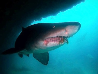 Wounded sharks at Aliwal Shoal, South Africa