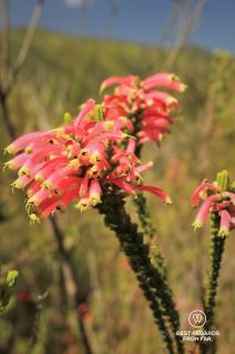 Fynbos blooming in George, South Africa