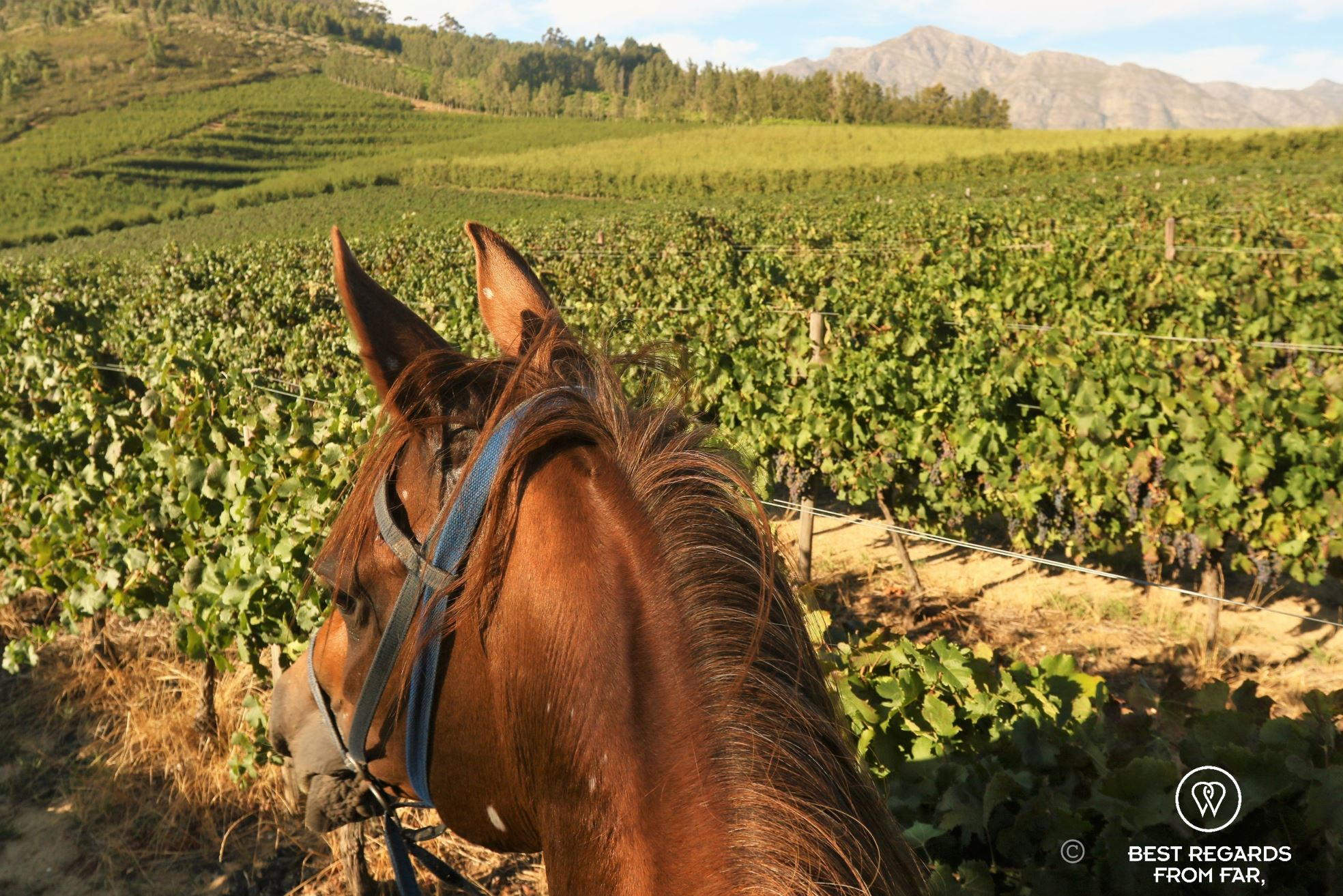 Head of a horse taken from the rider's position amongst the vineyards of Franschhoek