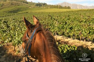 Riding through the vineyards ,Paradise Stables, Franschhoek, South Africa