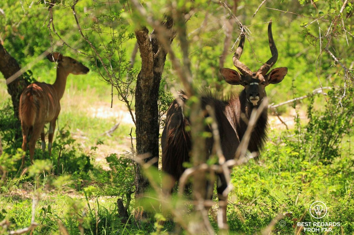 Male Nyala with large horns and his female behind in the bush, Tembe Elephant Park, South Africa.