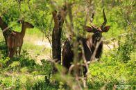 Nyala male, Tembe Elephant Park, South Africa