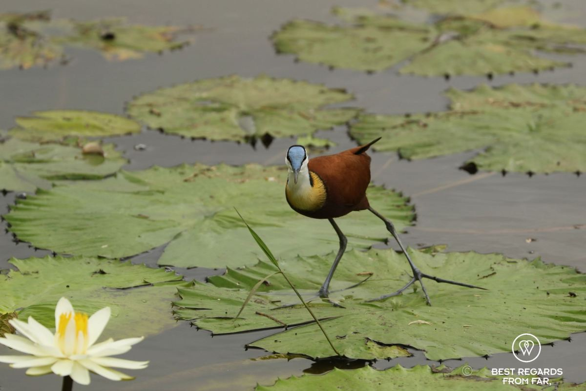 White water lily and African Jacana with a blue head, walking on a leaf in a lake, South Africa.