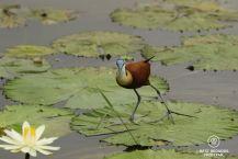 African Jacana, Kruger NP, South Africa