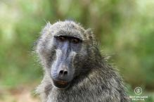 Portrait of a baboon in the wild with a green background, Kruger NP, South Africa.