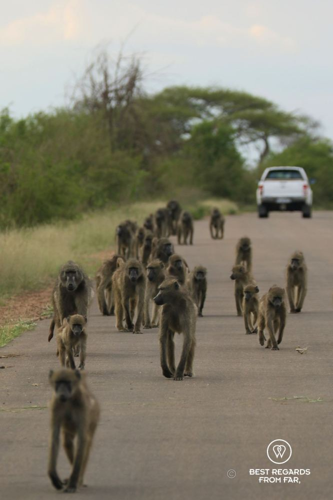 Troop of baboons walking the road towards in the Kruger National Park, South Africa.