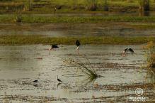 Black winged stilts landing in a lake,