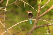 Brownhooded Kingfisher with red beak, brown back and blue tail, Mkhuze Game Reseve, South Africa