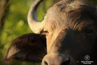 Close-up of the head of a buffalo in Hluhluwe iMfolozi, South Africa.
