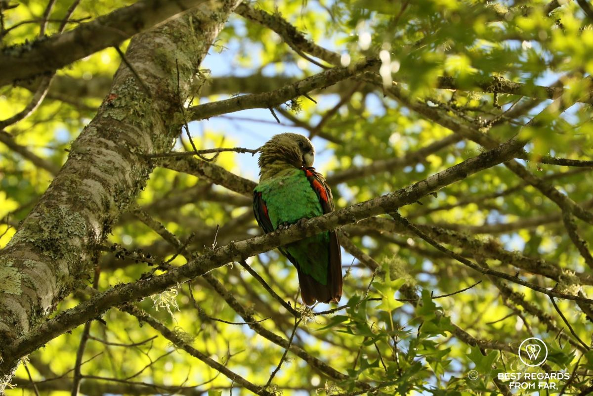 Endangered Cape Parrot on a branch, Hogsback, South Africa