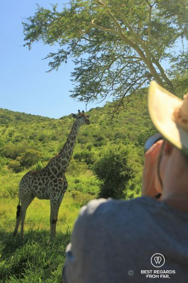 A giraffe under a fever tree, &Beyond Phinda Private Game Reserve, South Africa.
