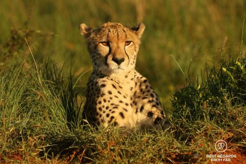 Portrait of a wild cheetah in its natural environment of green grass in the Phinda Private Game Reserve, South Africa.