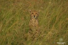 Cheetah cub in its natural environment of green grass looking into the camera. Phinda Private Game Reserve, South Africa.