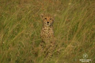 Portrait of a cheetah cub, &Beyond Phinda Private Game Reserve, South Africa