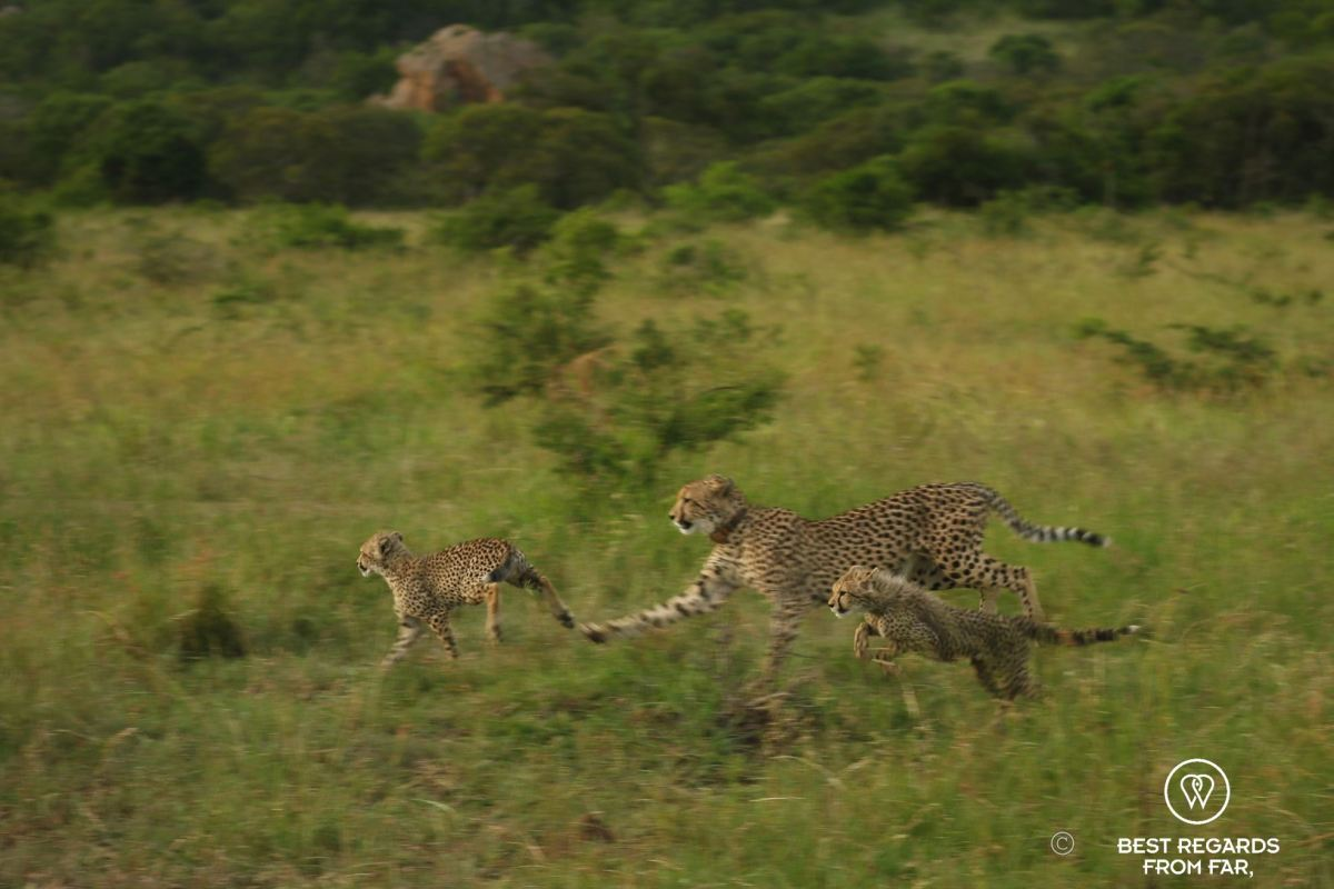 Two cheetah cubs playing with their mother, &Beyond Phinda Private Game Reserve, South Africa