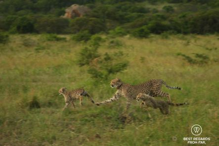 Cheetah cubs playing with their Mum, &Beyond Phinda Private Game Reserve, South Africa