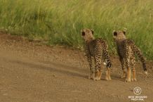 Cheetah cubs, &Beyond Phinda Private Game Reserve, South Africa