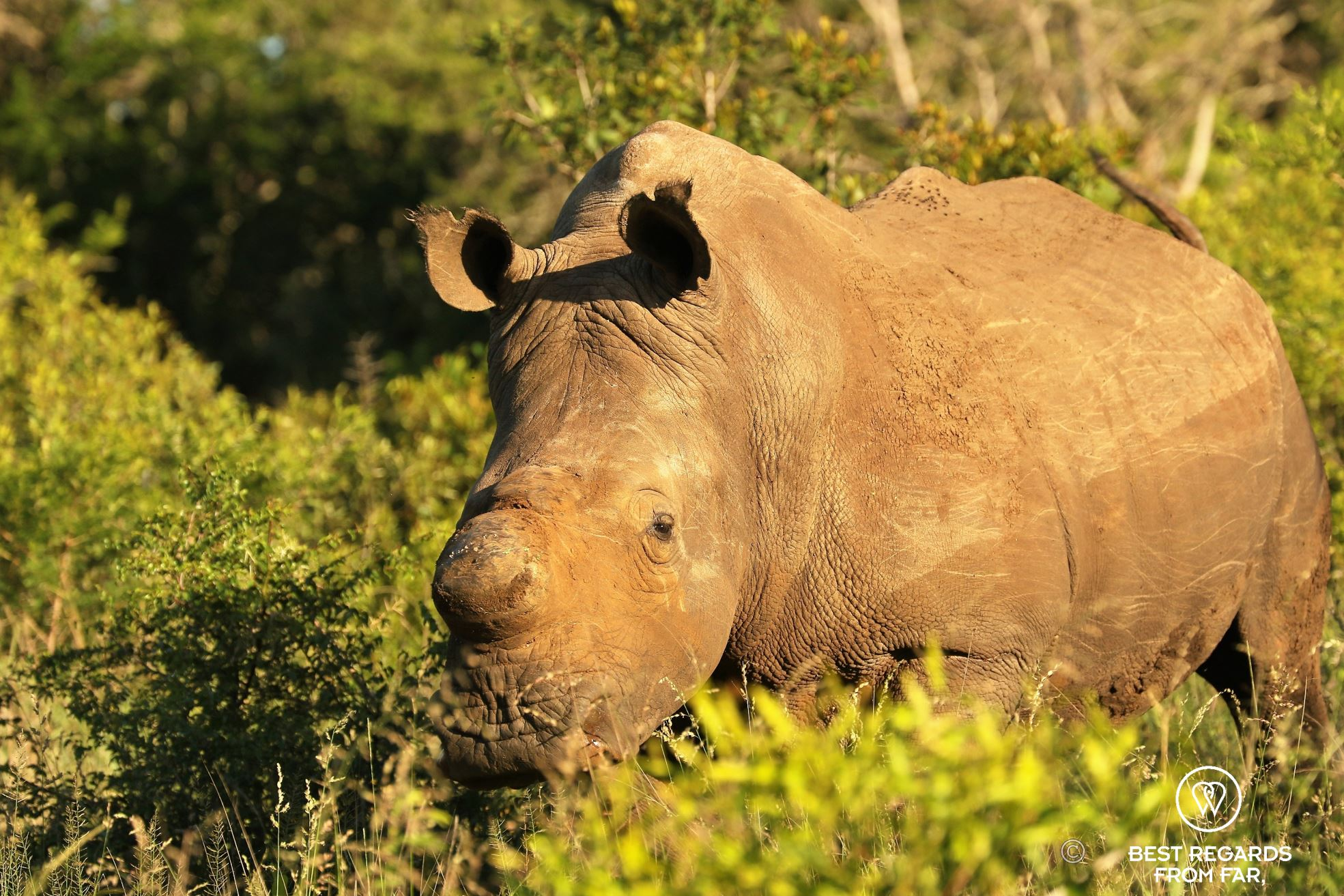 Dehorned white rhino, &Beyond Phinda Private Game Reserve, South Africa.
