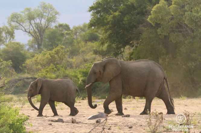 Mother and baby elephants crossing a dry river bed, Kruger NP, South Africa